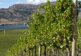 Osoyoos vineyard