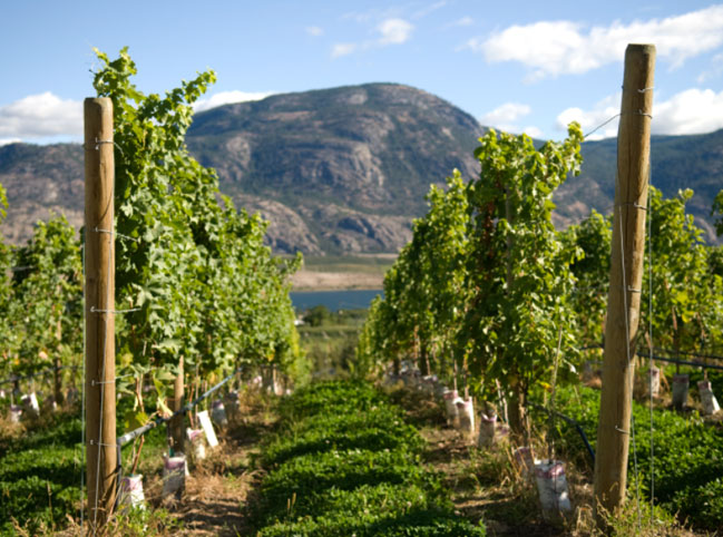Osoyoos Vineyard picture